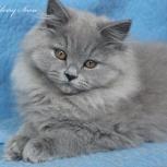 Голубые  длинношерстные британские котята, Ростов-на-Дону