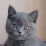 Британские голубые котята от  Silvery Snow, Ростов-на-Дону